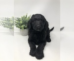 Image preview for Ad Listing. Nickname: Goldendoodles