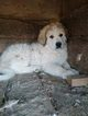 Great Pyrenees Puppies From Working Parents