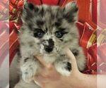 Puppy 7 Huskimo