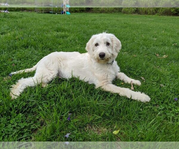 View Ad: Labradoodle-Pyredoodle Mix Puppy for Sale In Hungary