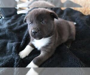 Akita Puppy for sale in MESKEGON, MI, USA