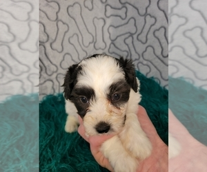 Zuchon Puppy for sale in KENDALL, WI, USA