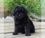 Small #2 Yorkie-Poo
