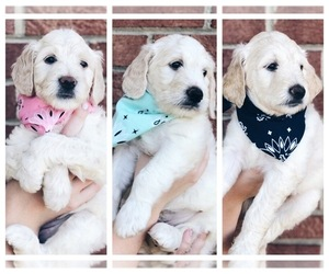 Goldendoodle Puppy for sale in MIDLAND, NC, USA