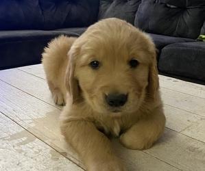 Golden Retriever Puppy for sale in SPG VALLEY LK, CA, USA