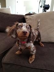 Dachshund Puppy For Sale in LIBERTY LAKE, WA, USA