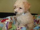 Poochon Puppy For Sale in PATERSON, NJ, USA