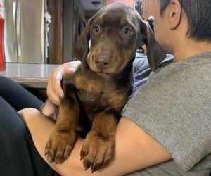 Doberman Pinscher Puppy for sale in BRISTOL, CT, USA