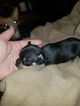 Chihuahua Puppy For Sale in TRINITY, TX, USA
