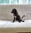 Poodle (Standard) Puppy For Sale in BELLVILLE, OH, USA