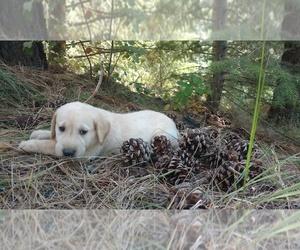 Labrador Retriever Puppy for sale in BURIEN, WA, USA