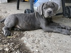Cane Corso Puppy For Sale in INDIANAPOLIS, Indiana,