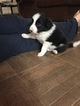 Border Collie Puppy For Sale in EMLENTON, PA