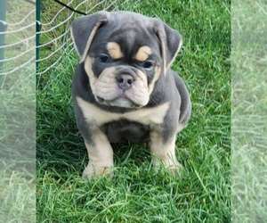 Olde English Bulldogge Puppy for Sale in LAKE NEPESSING, Michigan USA