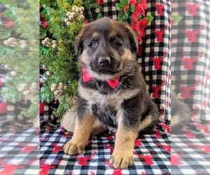 German Shepherd Dog Dog for Adoption in CHRISTIANA, Pennsylvania USA