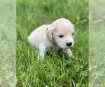 Small #2 Golden Cocker Retriever