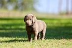 Labrador Retriever Puppy For Sale in MANNFORD, OK, USA