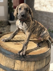 Great Dane Puppy For Sale in ROCHESTER, IN, USA