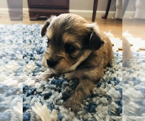 Havashire Puppy for Sale in MC MINNVILLE, Tennessee USA