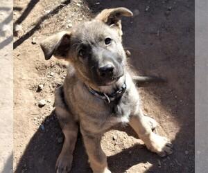 German Shepherd Dog Puppy for sale in CHINO VALLEY, AZ, USA