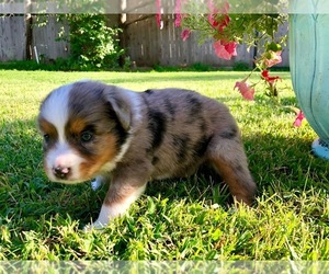 Miniature Australian Shepherd Puppy for Sale in WOODWARD, Oklahoma USA