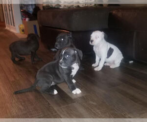 American Bully Puppy for sale in MOTLEY, MN, USA
