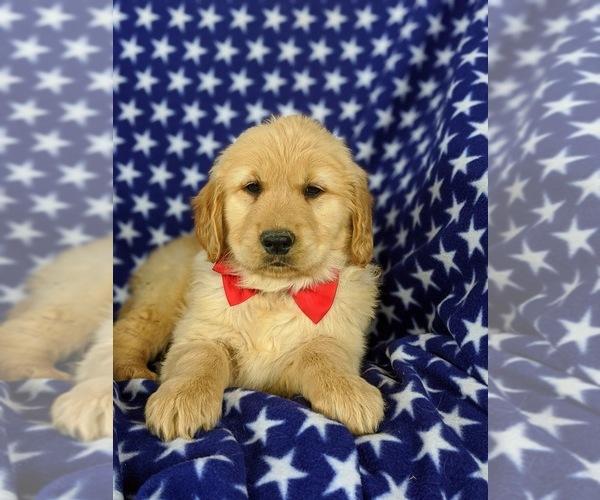 Medium Photo #6 Golden Retriever Puppy For Sale in OXFORD, PA, USA