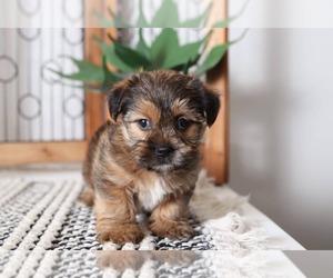 Shorkie Tzu Dog for Adoption in NAPLES, Florida USA