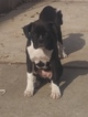 Boxer Puppy For Sale in STATEN ISLAND, New York,