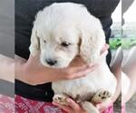 Puppy 5 English Cream Golden Retriever-Poodle (Miniature) Mix