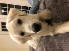 Great Pyrenees Puppy For Sale in WEST PALM BEACH, FL, USA