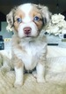 Miniature Australian Shepherd Puppy For Sale in OKLAHOMA CITY, OK, USA