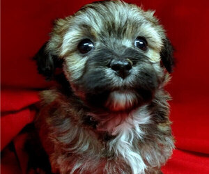 Havanese Puppy for Sale in WINSTON SALEM, North Carolina USA