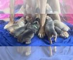 Puppy 7 Boerboel