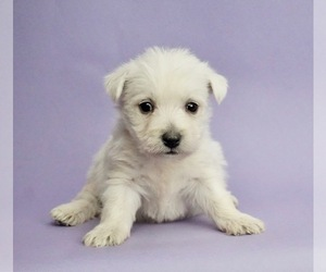 West Highland White Terrier Puppy for Sale in WARSAW, Indiana USA