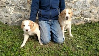 Border-Aussie Puppy For Sale in GREENCASTLE, PA, USA