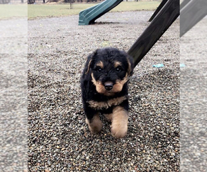 Airedale Terrier Puppy for sale in COCHRANTON, PA, USA