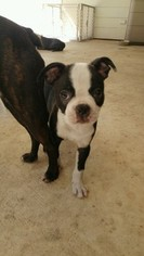 Boston Terrier Puppy For Sale in MIDDLEBURG, FL