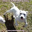 Small Photo #160 Dogo Argentino Puppy For Sale in PINEVILLE, MO, USA