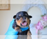 Small Photo #8 Rottweiler Puppy For Sale in FONTANA, CA, USA