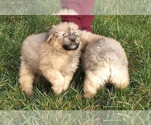 Bouvier Des Flandres Puppy for Sale in AMBOY, Washington USA