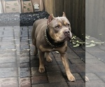 Small #38 American Bully