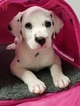 Dalmatian Puppy For Sale in AARONSBURG, PA, USA
