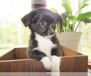 Chihuahua Puppy for sale in BATTLE CREEK, MI, USA