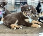 Australian Shepherd Puppy For Sale in GEORGETOWN, TX, USA