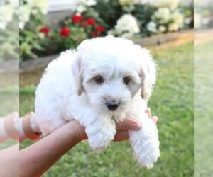 Cavapoo-Poodle (Miniature) Mix Dog for Adoption in GOSHEN, Indiana USA