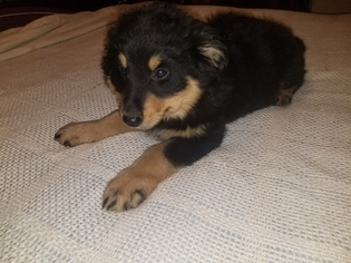 English Shepherd Puppy For Sale in THOMPSONS STATION, TN, USA