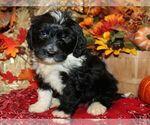 Puppy 4 Bernedoodle-Poodle (Miniature) Mix