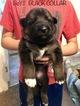 German Shepherd Dog Puppy For Sale in CROWELL, TX