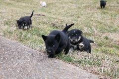 Labrador Retriever-Siberian Husky Mix puppy